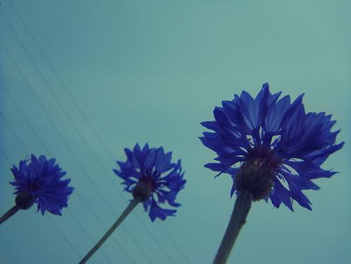 2012.6.14分 6.2のポピー畑 5
