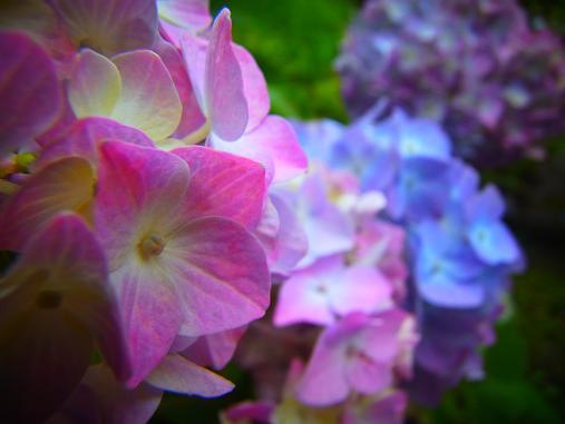 2012.6.16 先週の菖蒲祭り! 5