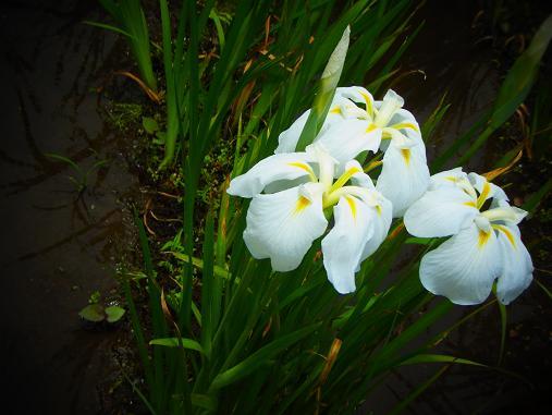 2012.6.16 先週の菖蒲祭り! 4