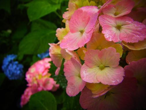 2012.7.4分 写真 紫陽花祭り 11