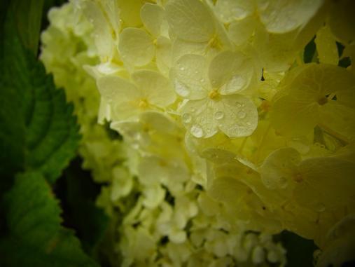 2012.7.4分 写真 紫陽花祭り 10