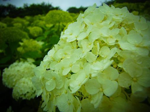 2012.7.4分 写真 紫陽花祭り 8