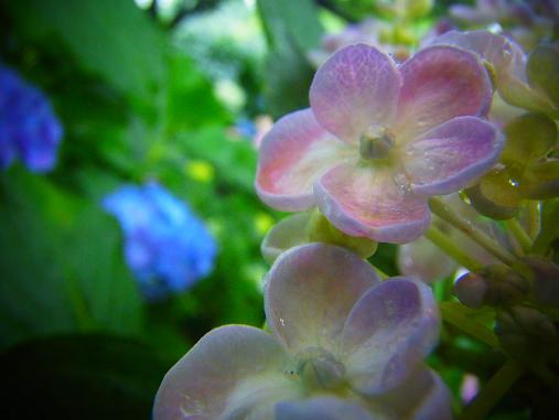 2012.7.4分 写真 紫陽花祭り 7