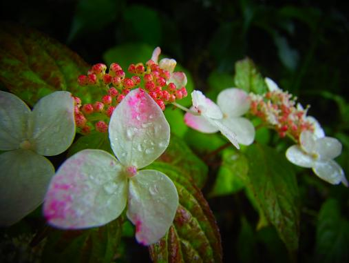 2012.7.4分 写真 紫陽花祭り 6