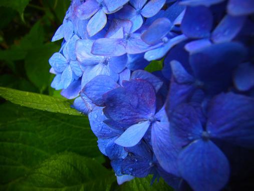 2012.7.4分 写真 紫陽花祭り 5