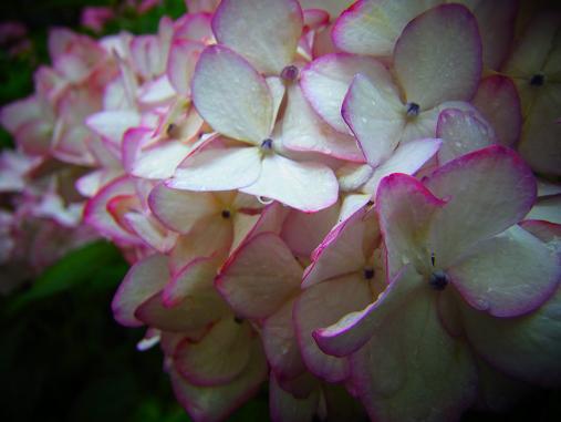 2012.7.4分 写真 紫陽花祭り 4