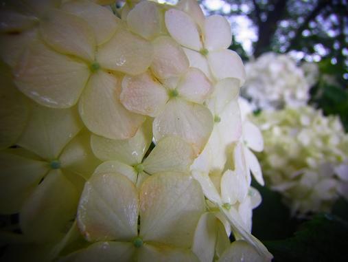 2012.7.4分 写真 紫陽花祭り 2