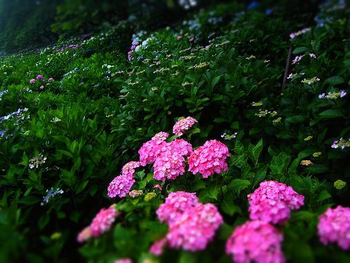 2012.7.4分 写真 紫陽花祭り 1