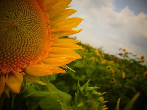 2012.9.5分 前の、ひまわり畑の写真 11