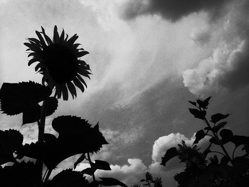 2012.9.5分 前の、ひまわり畑の写真 10