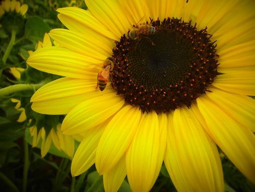 2012.9.5分 前の、ひまわり畑の写真 8