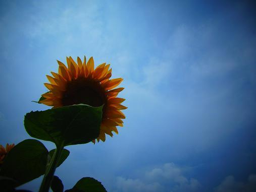 2012.9.5分 前の、ひまわり畑の写真 7