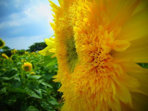 2012.9.5分 前の、ひまわり畑の写真 4
