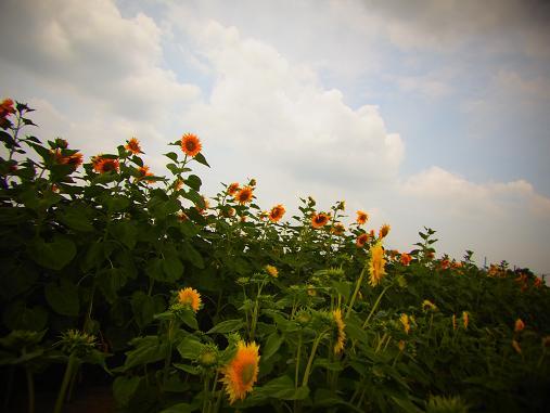 2012.9.5分 前の、ひまわり畑の写真 2