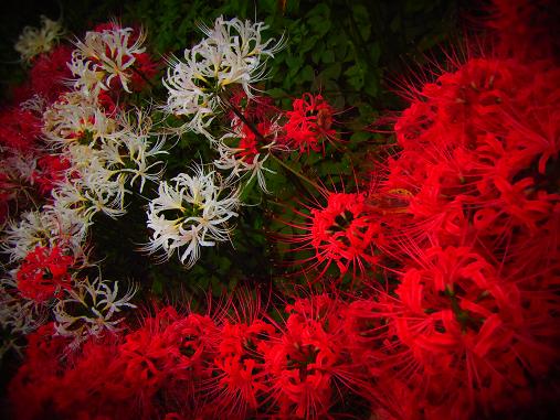 2012.10.11分 曼珠沙華祭り! 10