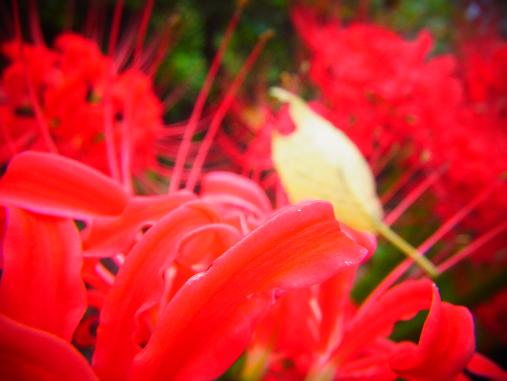 2012.10.11分 曼珠沙華祭り! 7