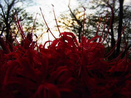 2012.10.11分 曼珠沙華祭り! 6