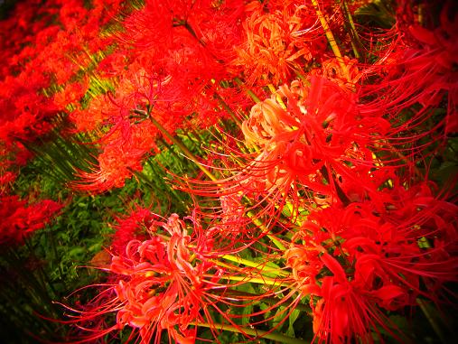 2012.10.11分 曼珠沙華祭り! 4