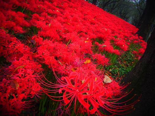 2012.10.11分 曼珠沙華祭り! 1