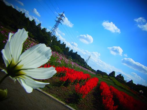 2012.10.17 コスモスやサルビア畑 3