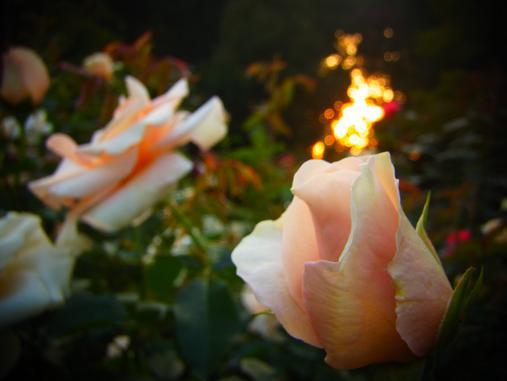 2012.10.26 夕暮れ秋のバラ園 7