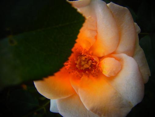 2012.10.26 夕暮れ秋のバラ園 3