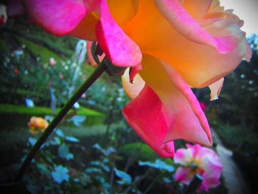 2012.10.26 夕暮れ秋のバラ園 4