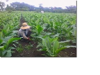 ウコン畑4