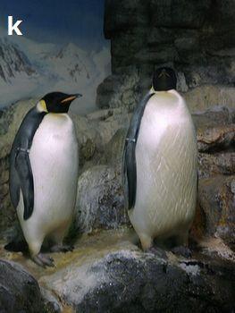 ペンギン(皇帝ペンギン)350
