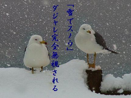 カモメの親子(冬・親不知)114大爆笑