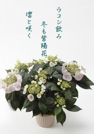 ふゆ咲き紫陽花文字