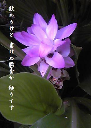 ウコンの花文字