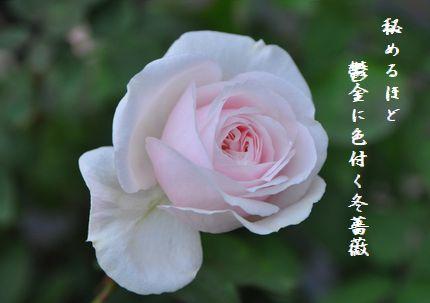 ふゆ薔薇6文字