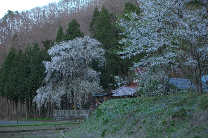 橋山大歳神社のしだれ桜