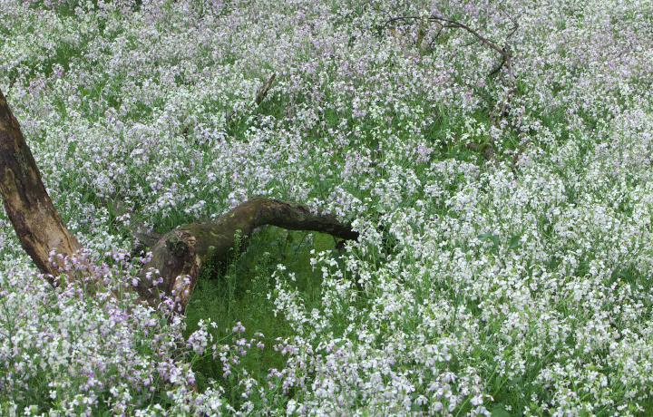 白い菜の花に染まる