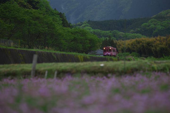 蓮華草と清流線