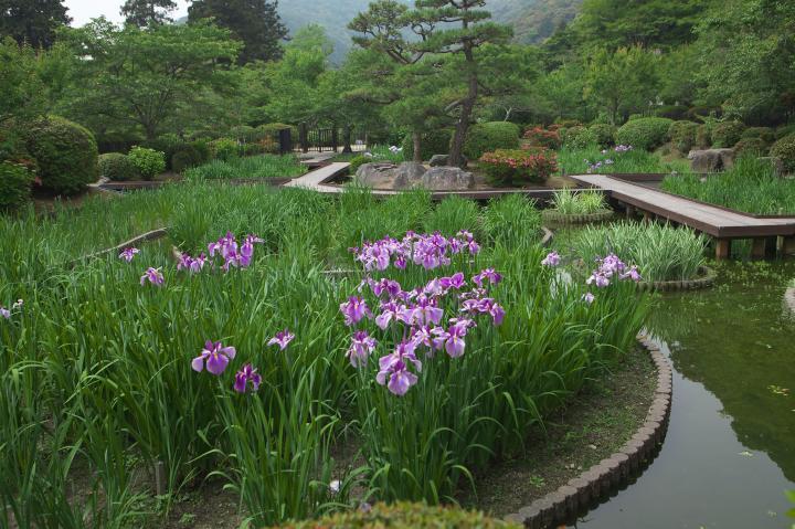 吉香公園の菖蒲