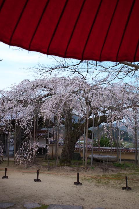 円立寺のしだれ桜