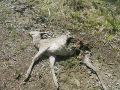 鹿は無残な姿に…