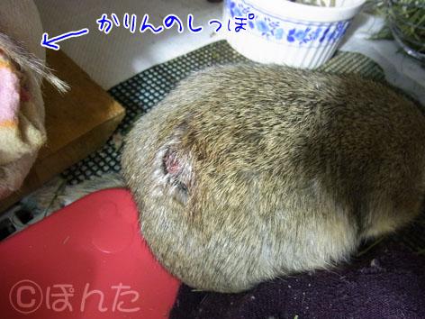 ぴきぴき_毛胞腫3
