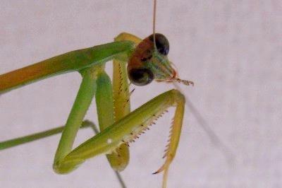 虫を食べるカマキリ