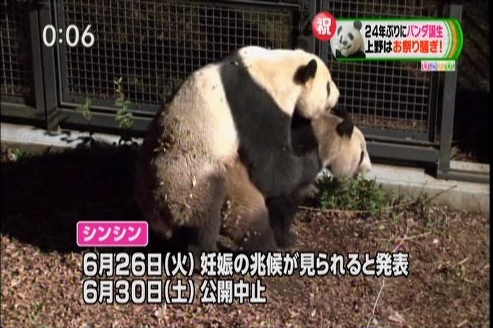 パンダの交尾、妊娠の兆候