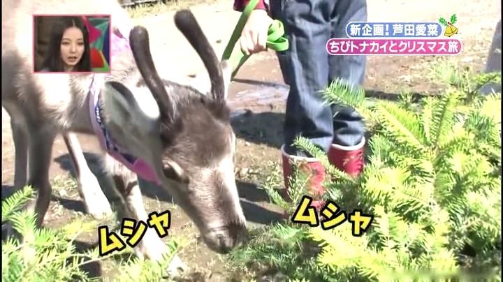 芦田愛菜ちゃん【天才!志村動物園】に登場!ホーリーがモミの木をムシャムシャと…