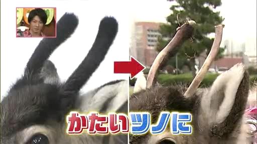 芦田愛菜ちゃん【天才!志村動物園】に登場!第2章、ホーリーの角比較