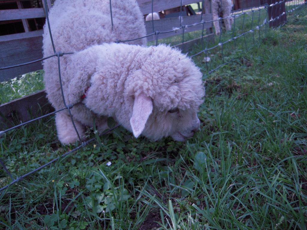 子羊ちゃま☆2