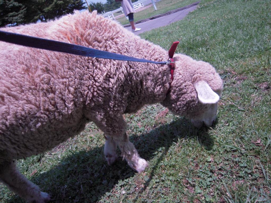 羊のお散歩☆