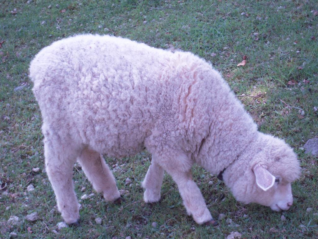 子羊ちゃま☆1