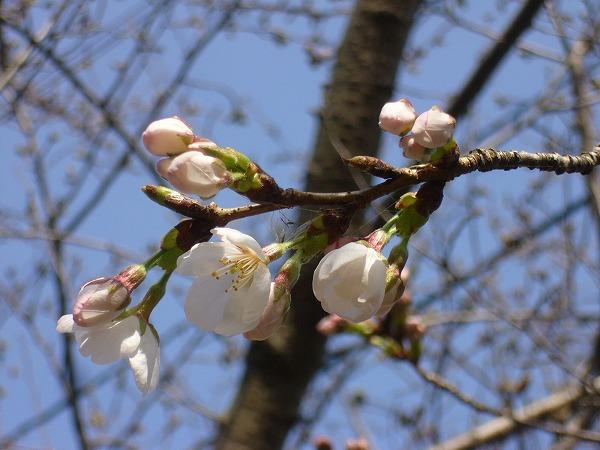 弥谷の桜横