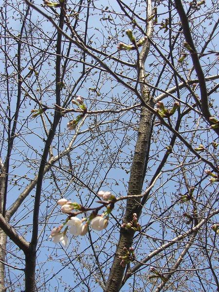 弥谷の桜縦
