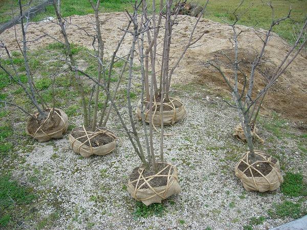 ロウバイの苗木